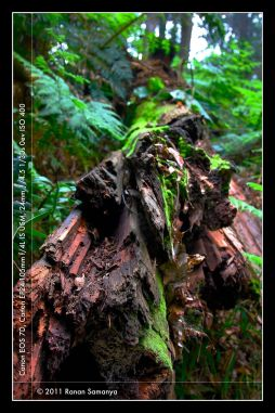 patch of bright green mosses on a fallen trunk of _Vaccinium_ tree.