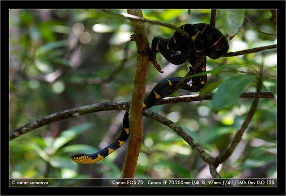 Mangrove snake 001