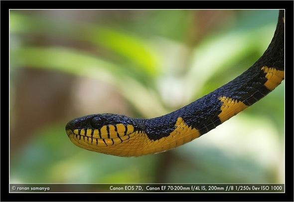 Mangrove snake 002