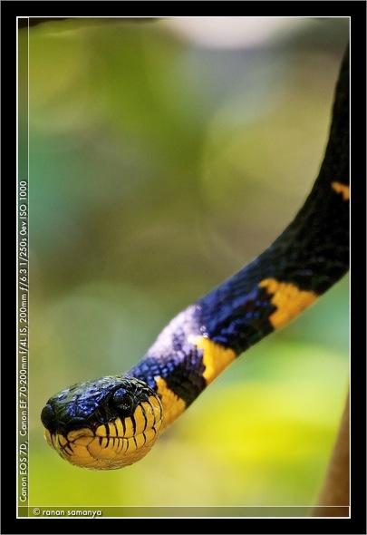 Mangrove snake 003
