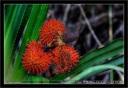 PandanusAffinis.jpg