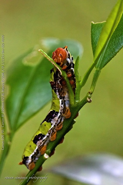 Lime butterfly instar 5 001