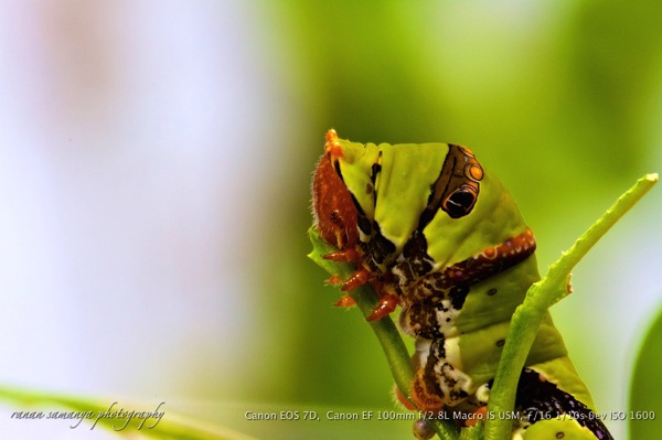 Lime butterfly instar 5 002